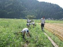 服間小学校の子供たちが枝豆の収穫をしました。_e0061225_1771481.jpg