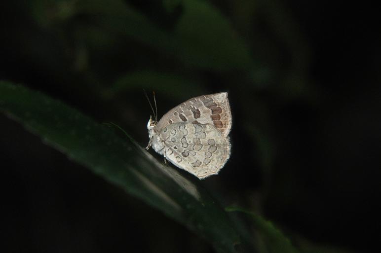 2010想い出の蝶ランキング2位ルーミスシジミ_e0194952_8271690.jpg