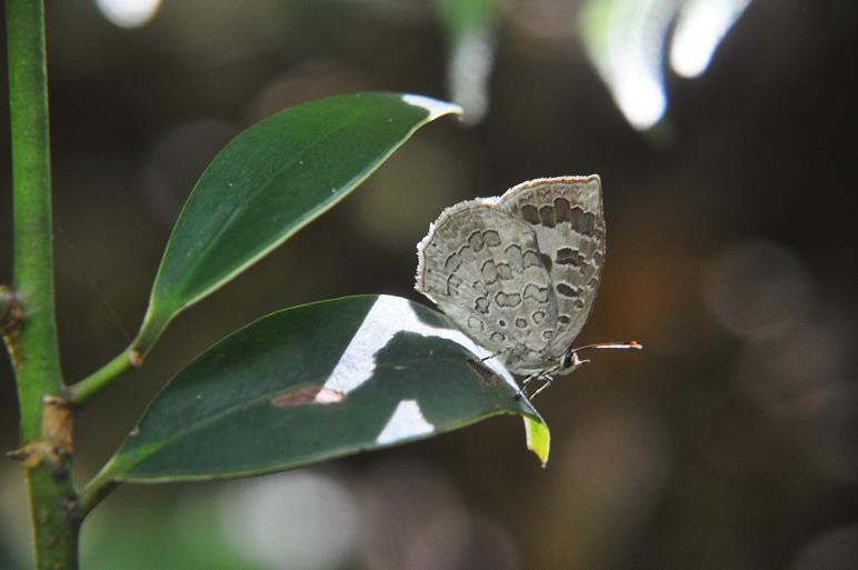 2010想い出の蝶ランキング2位ルーミスシジミ_e0194952_8364529.jpg