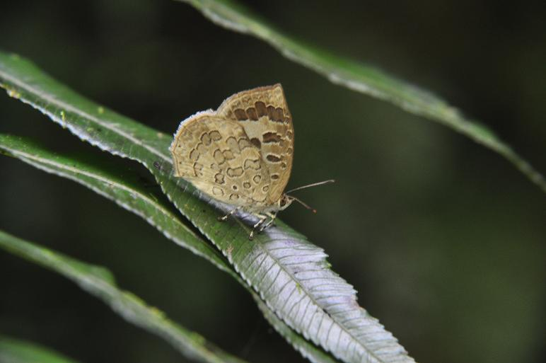 2010想い出の蝶ランキング2位ルーミスシジミ_e0194952_8394229.jpg