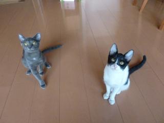 猫のお友だち 銀くん こちびちゃん編。_a0143140_20563067.jpg