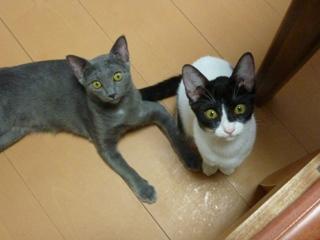 猫のお友だち 銀くん こちびちゃん編。_a0143140_2057273.jpg