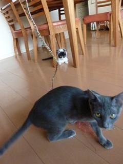 猫のお友だち 銀くん こちびちゃん編。_a0143140_20582229.jpg