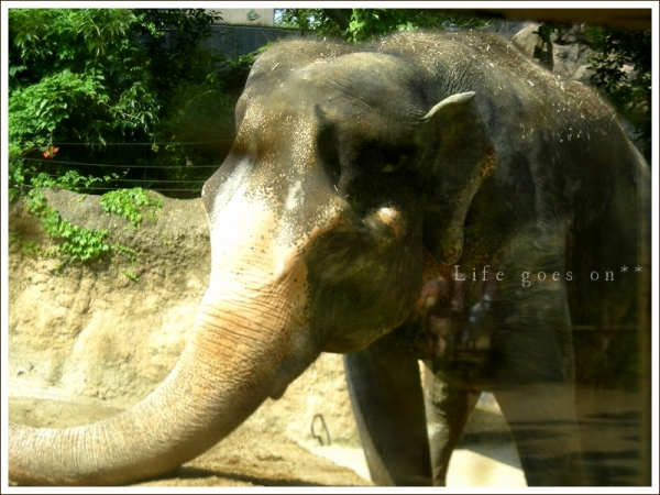 天王寺動物園 迫力ゾウさん♪_b0155684_18392956.jpg