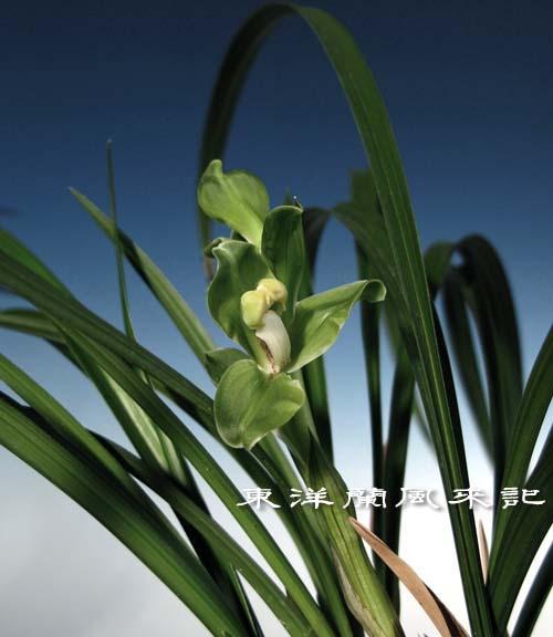 中国春蘭「緑茎翆桃」                   No.864_d0103457_0473044.jpg
