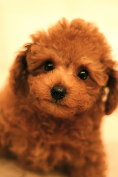 Toy poodle  red   Boy ★_d0060413_20511928.jpg
