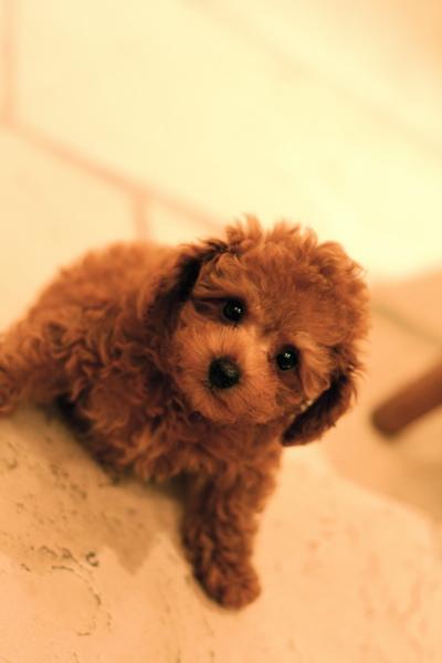 Toy poodle  red   Boy ★_d0060413_20513654.jpg