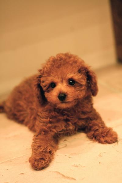 Toy poodle  red   Boy ★_d0060413_20515128.jpg