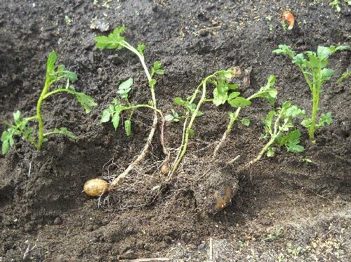 ジャンボニンニクの植え付けとジャガイモ植え直し_f0018078_16575531.jpg
