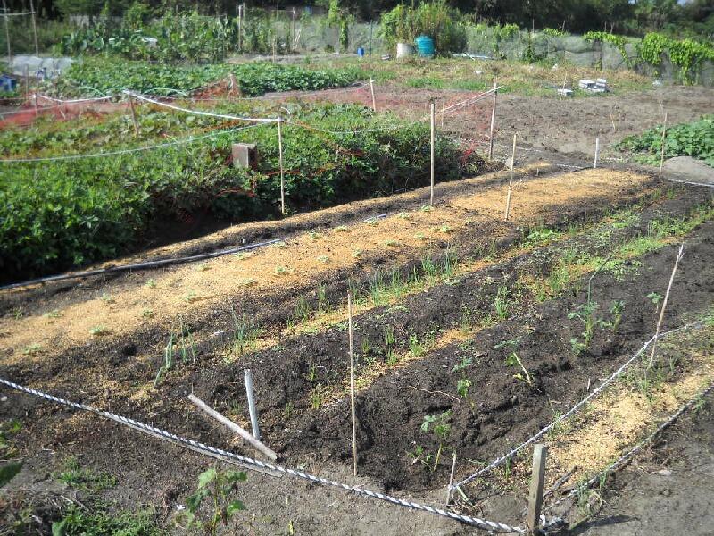 ジャンボニンニクの植え付けとジャガイモ植え直し_f0018078_1735833.jpg