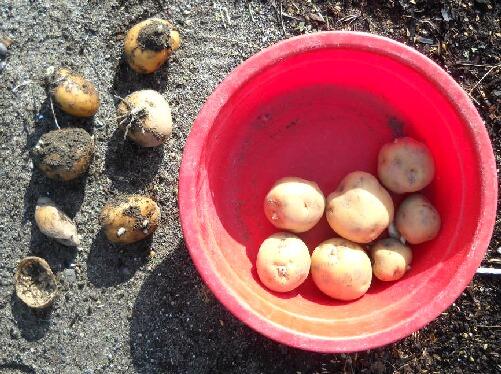 ジャンボニンニクの植え付けとジャガイモ植え直し_f0018078_1743035.jpg