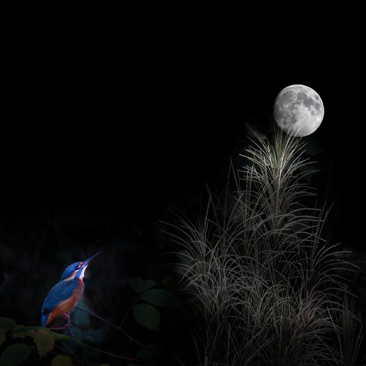 カワセミの、お月見_f0215767_911451.jpg
