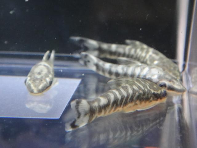 熱帯魚・水草・金魚_f0189122_1353544.jpg
