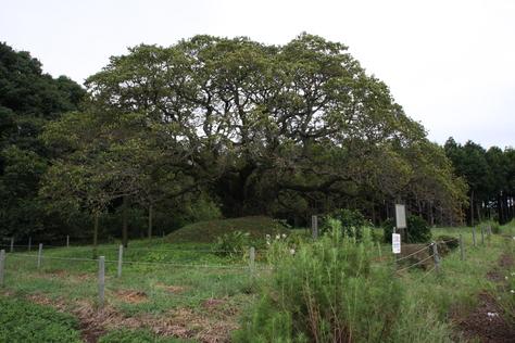 大きな桜の木_a0157159_20391582.jpg