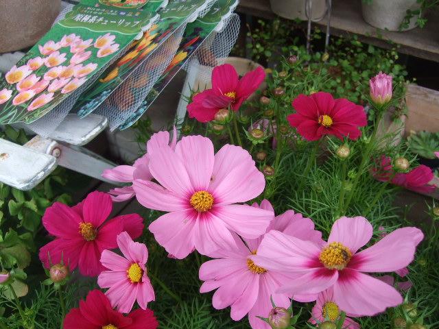 オークリーフ(秋、コスモスの花)_f0049672_17191429.jpg