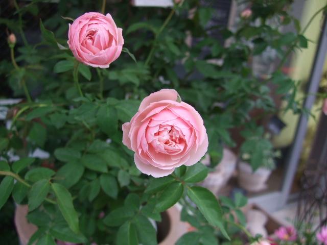 オークリーフ(秋、コスモスの花)_f0049672_17193757.jpg