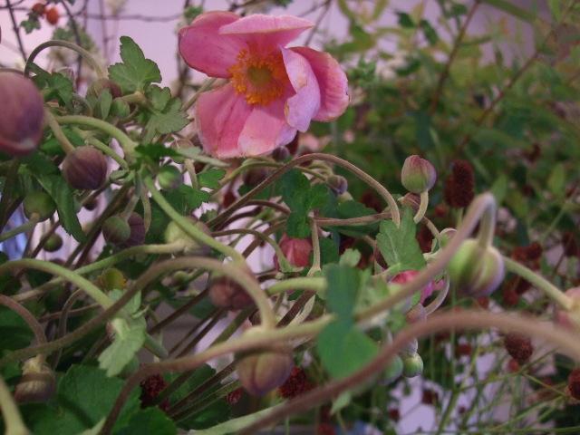 オークリーフ(秋、コスモスの花)_f0049672_17261754.jpg