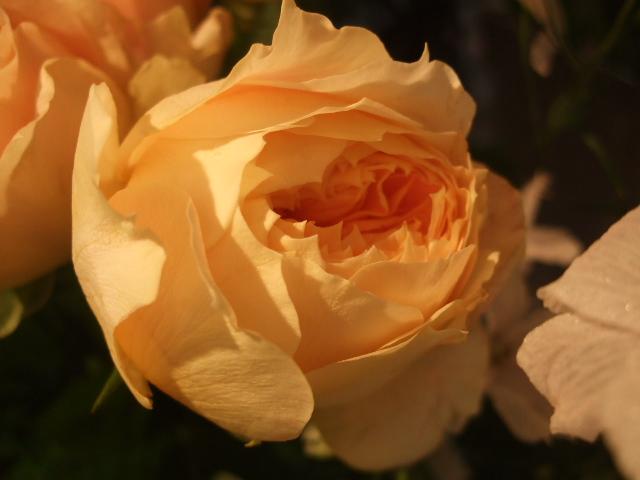オークリーフ(秋、コスモスの花)_f0049672_1726527.jpg