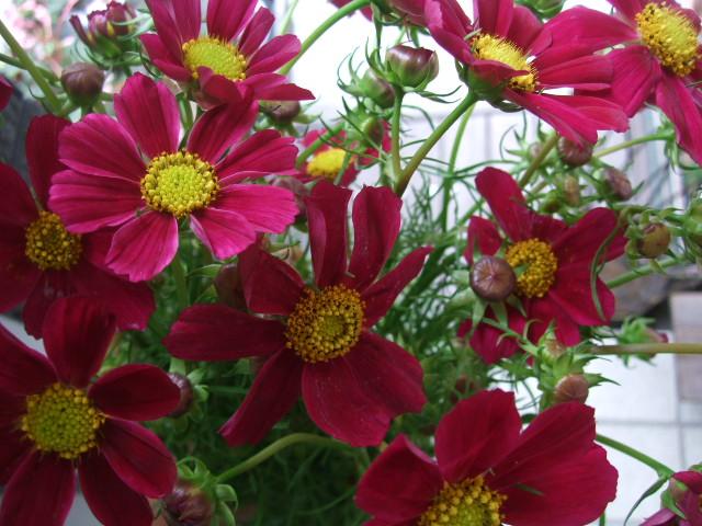 オークリーフ(秋、コスモスの花)_f0049672_17275215.jpg