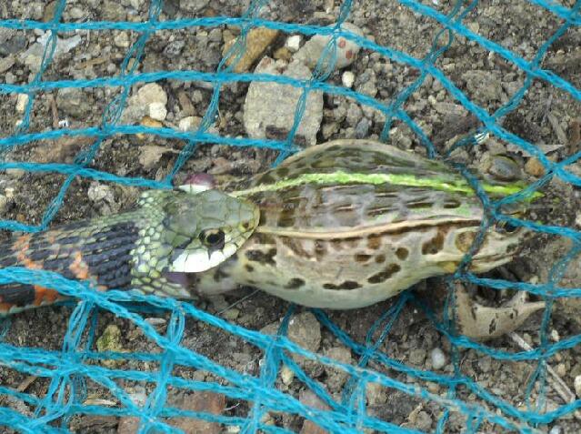細い蛇(ヤマカガシ)は蛙(殿様蛙)を飲み込むことが出来たか?_f0018078_8141882.jpg