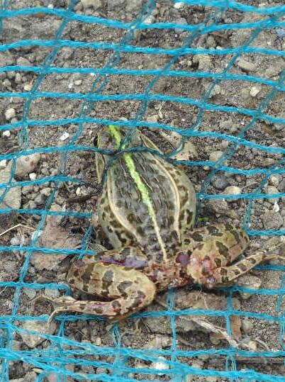 細い蛇(ヤマカガシ)は蛙(殿様蛙)を飲み込むことが出来たか?_f0018078_8143342.jpg