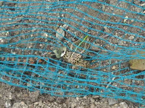 細い蛇(ヤマカガシ)は蛙(殿様蛙)を飲み込むことが出来たか?_f0018078_862091.jpg