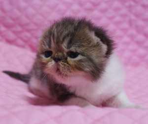 エキゾ子猫ちゃん 生後11日_e0033609_05423.jpg