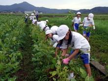 北新庄小学校3年生の子供達が枝豆収穫を体験しました_e0061225_10272663.jpg