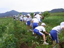 北新庄小学校3年生の子供達が枝豆収穫を体験しました_e0061225_10273928.jpg