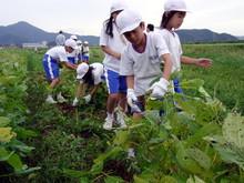 北新庄小学校3年生の子供達が枝豆収穫を体験しました_e0061225_10285156.jpg