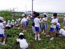 北新庄小学校3年生の子供達が枝豆収穫を体験しました_e0061225_10345375.jpg