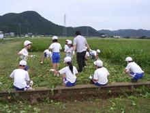 北新庄小学校3年生の子供達が枝豆収穫を体験しました_e0061225_1035261.jpg