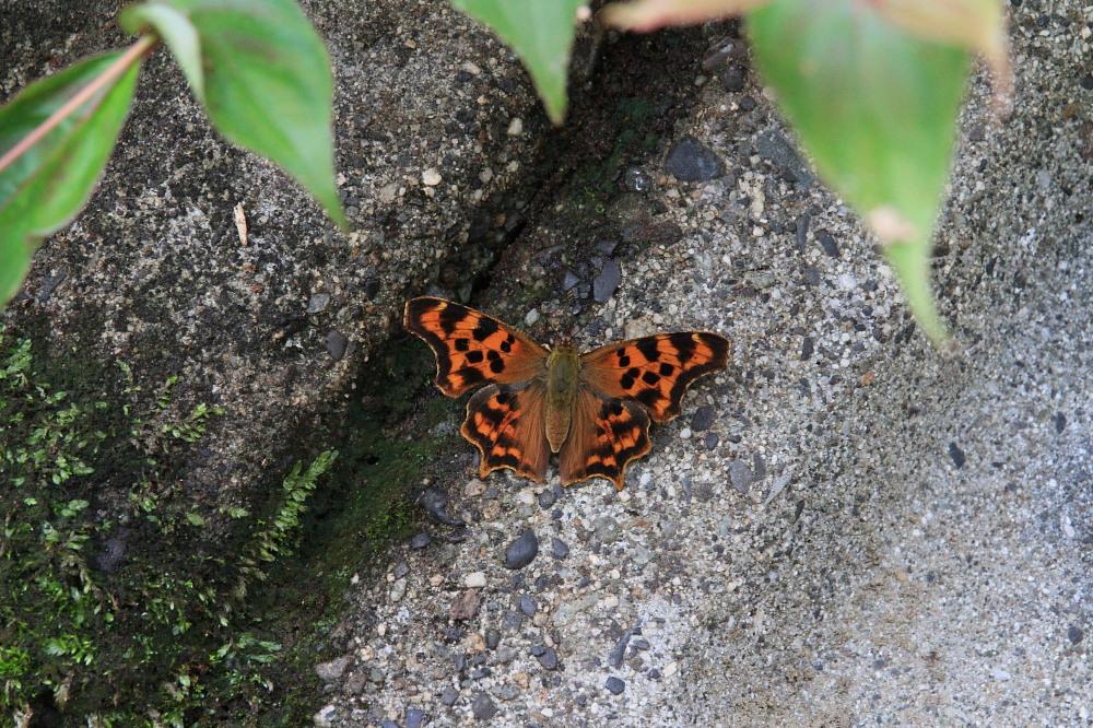 シータテハ キタテハの冷涼近縁種 2010年7.17-9.4_a0146869_8491434.jpg