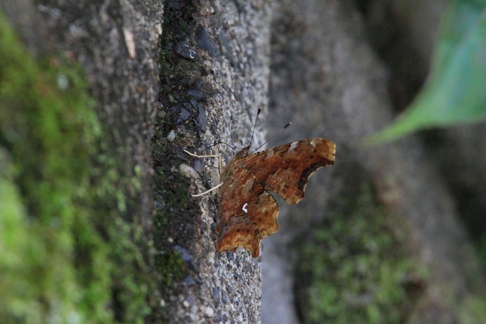 シータテハ キタテハの冷涼近縁種 2010年7.17-9.4_a0146869_849392.jpg