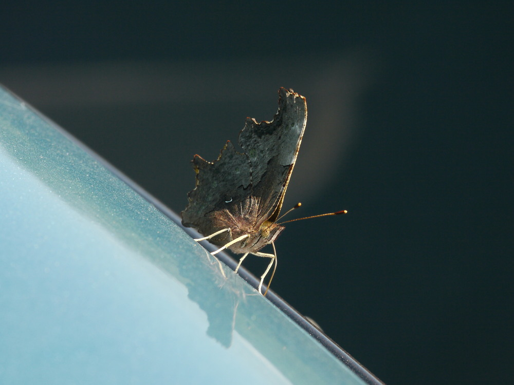 シータテハ キタテハの冷涼近縁種 2010年7.17-9.4_a0146869_8522959.jpg
