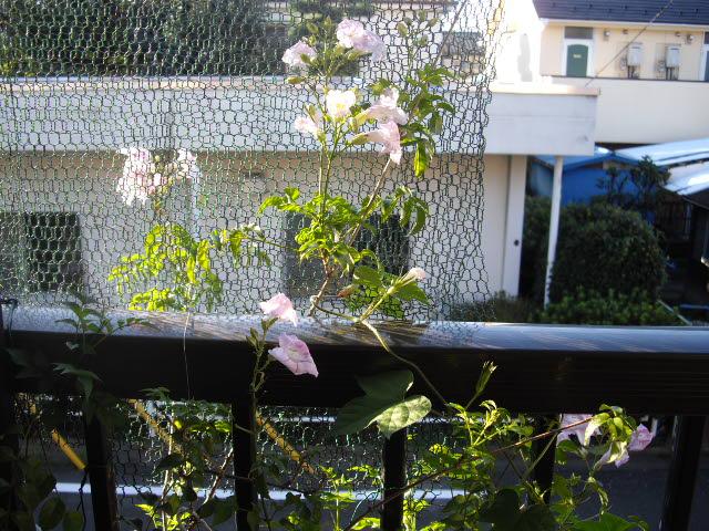 生き残りの花が元気に。_d0116059_963264.jpg