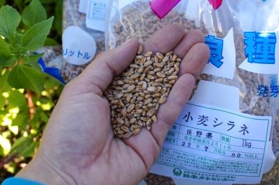 小麦2011 タネまき_c0110869_2046733.jpg