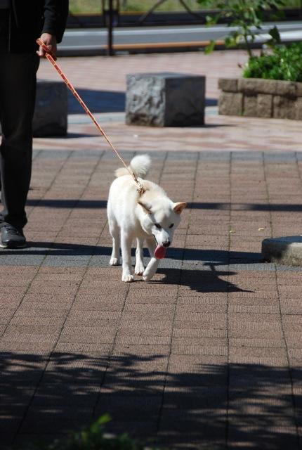子犬のクラス 「お散歩」編_c0099133_10492538.jpg