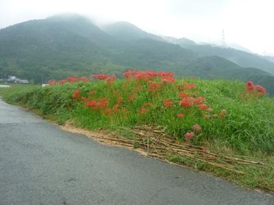 秋。彼岸花が満開です。_e0188087_22454474.jpg