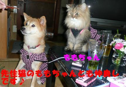 チェルシーちゃんのこと_f0121712_1412862.jpg