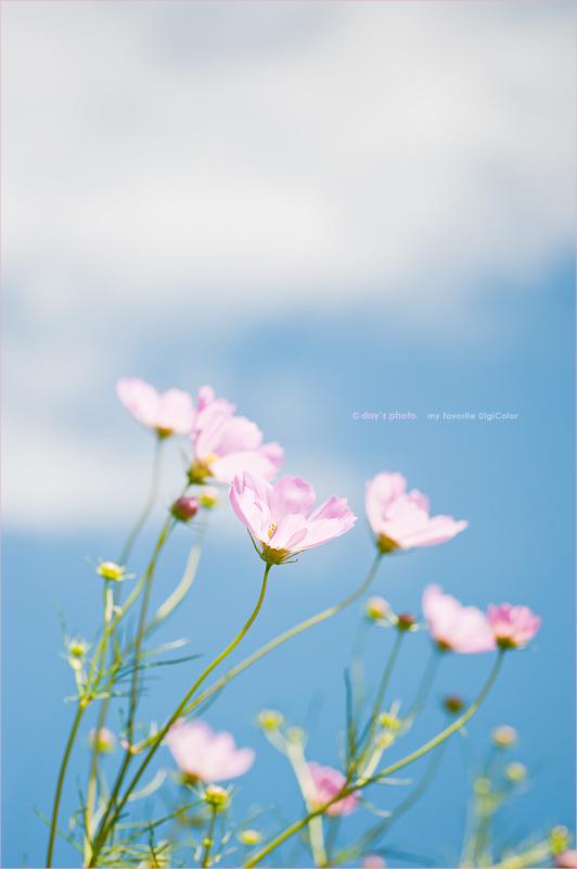 彩な秋色 - COSMOS 2010 - _e0117517_1750181.jpg