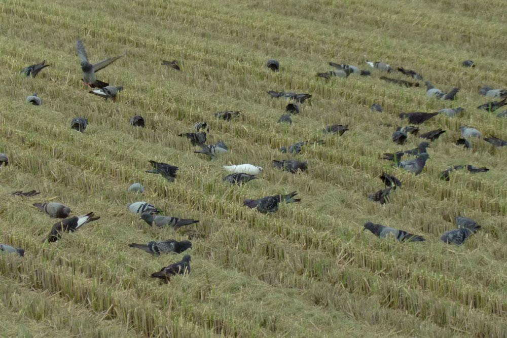 稲刈り後の田んぼで餌捕り、ハトさんたち_e0088233_022411.jpg