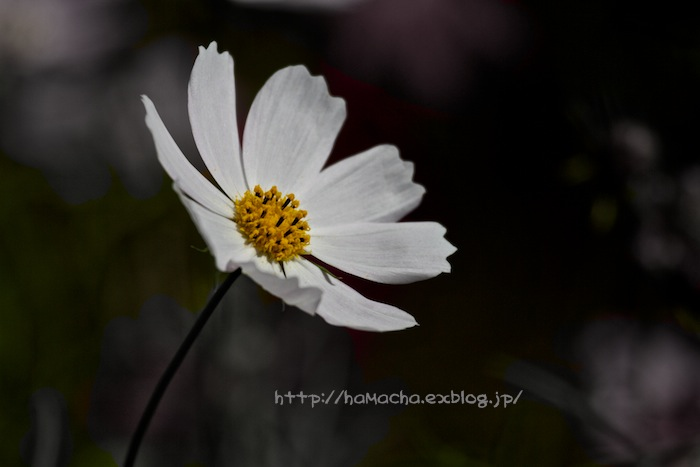 Cosmos and Black Background_c0158775_20524521.jpg