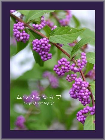 ムラサキシキブ♪_c0134734_156557.jpg