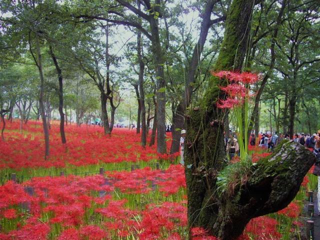 日高市の彼岸花は真っ盛り_d0116059_21172898.jpg