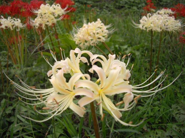 日高市の彼岸花は真っ盛り_d0116059_21184869.jpg
