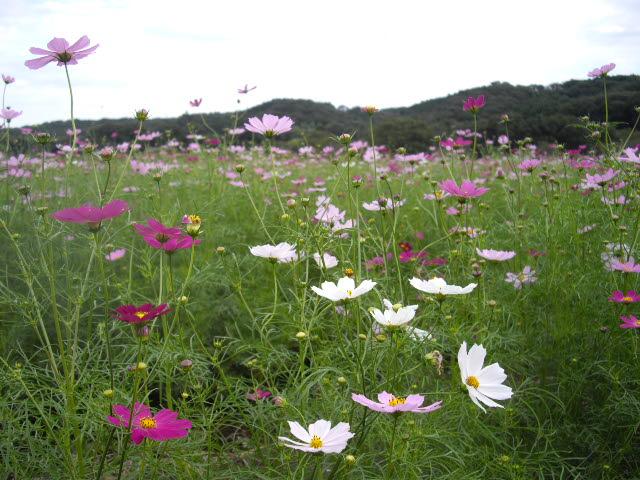 日高市の彼岸花は真っ盛り_d0116059_2120594.jpg