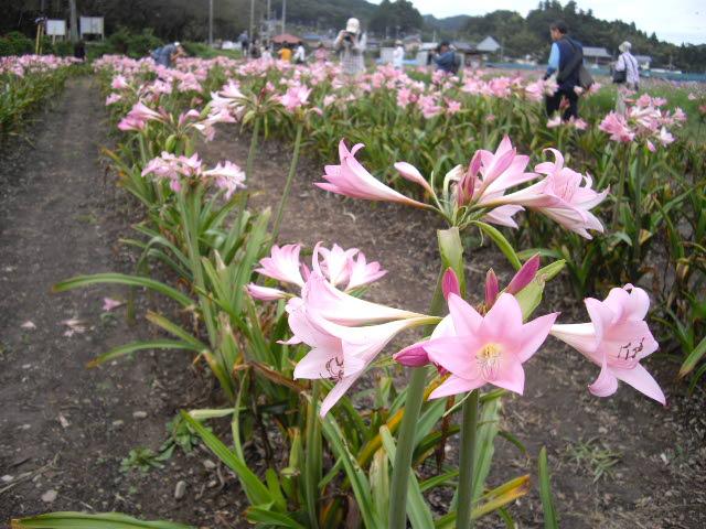 日高市の彼岸花は真っ盛り_d0116059_21223886.jpg