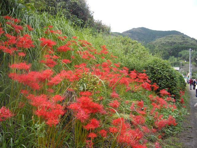 日高市の彼岸花は真っ盛り_d0116059_21283480.jpg