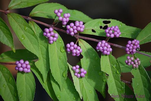 コムラサキ(小紫)_a0164068_2339077.jpg